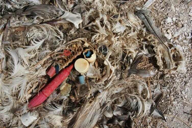 Мусор в океане очень опасен. Останки птенца темноспинного (лайсанского) альбатроса, которому родители скармливали пластик; птенец не мог вывести его из организма, что привело к смерти от голода или от удушья