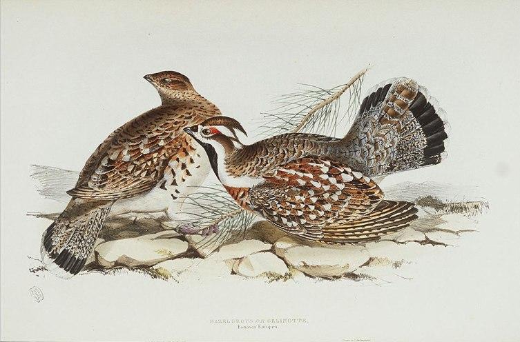 Самец (справа) и самка рябчика. Вес птичек 300-580 г.