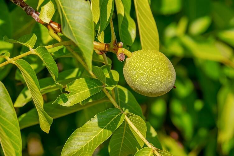 Зелёный орех является символом зарождения и развития жизни