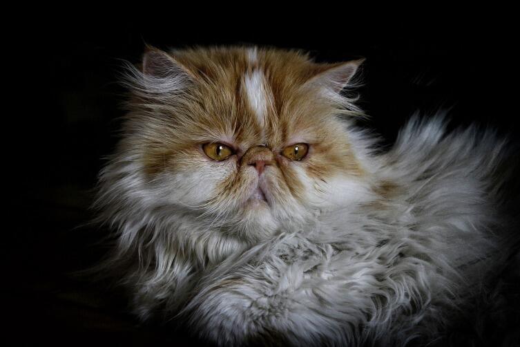 Как кормить персидскую кошку?