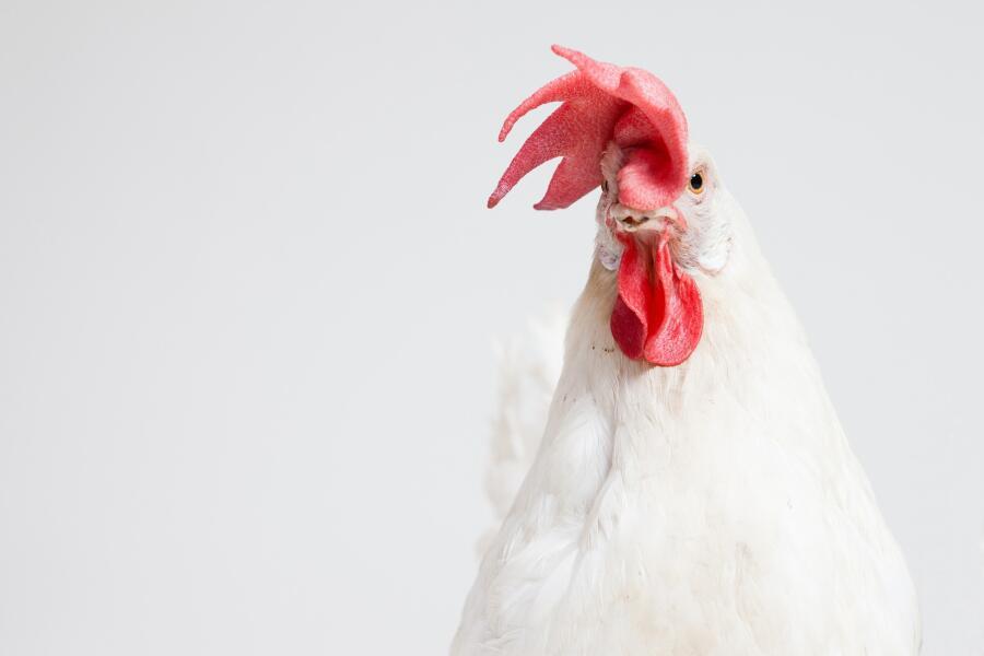 На что способны куриные мозги? Часть 2