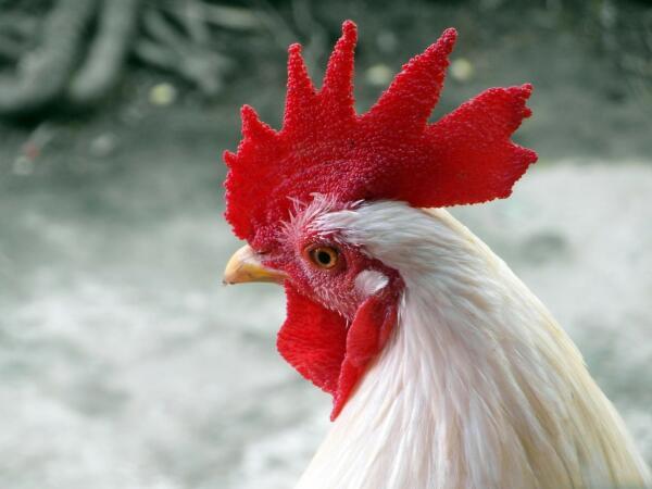 На что способны куриные мозги? Часть 6