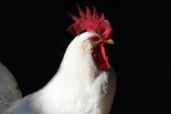 На что способны куриные мозги? Часть 8