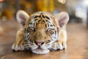 Что такое цирк с точки зрения тигренка?