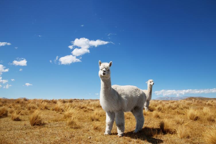 Новозеландские ламы