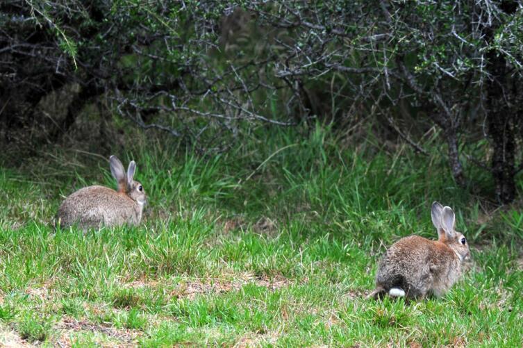 Кролики стали настоящей напастью для Новой Зеландии