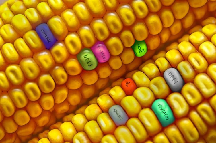 Если вдуматься, то любые выведенные сорта растений тоже ГМО
