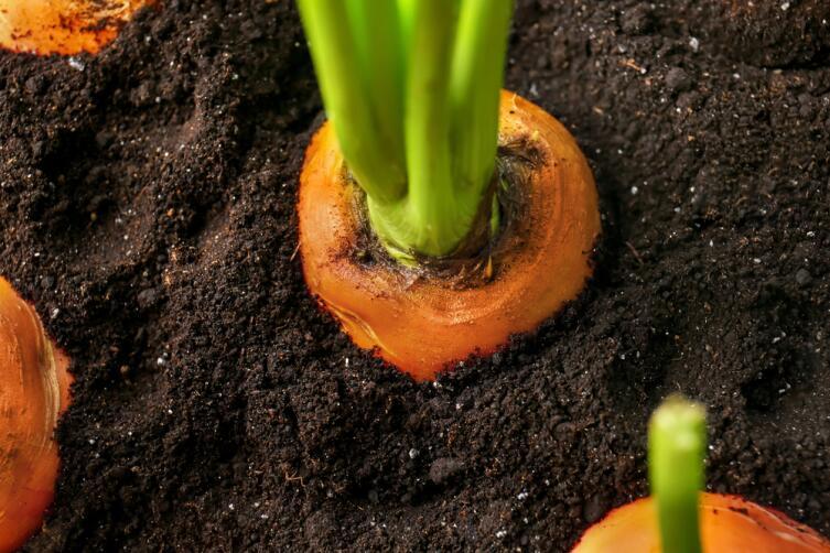 Зелень можно получить из корнеплодов