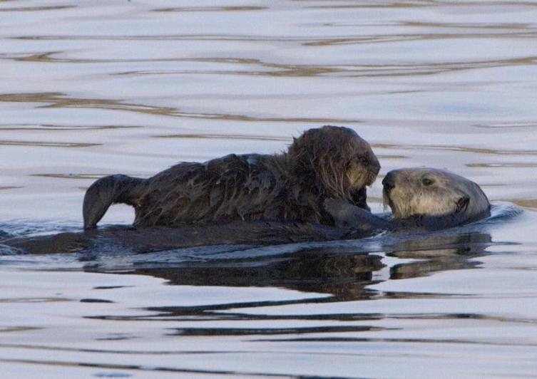 Самка калана с детёнышем