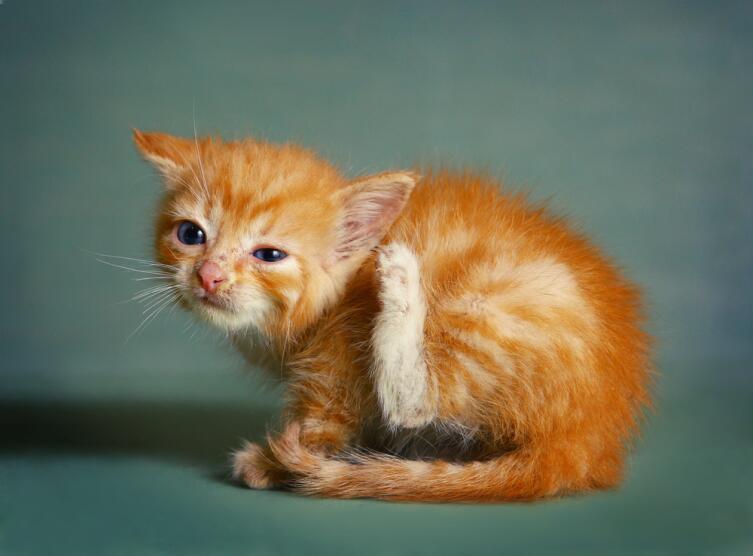 Ушной клещ у собак и кошек. Как помочь любимому питомцу?