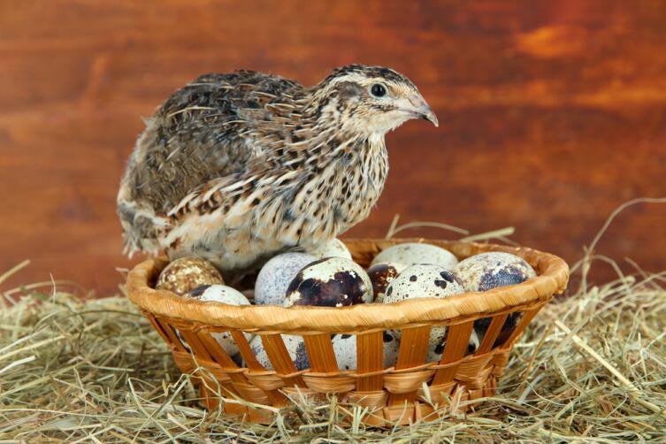 Чем полезны перепелиные яйца?