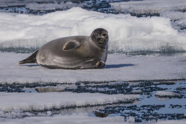 Кто такие эндемики? Байкальская нерпа