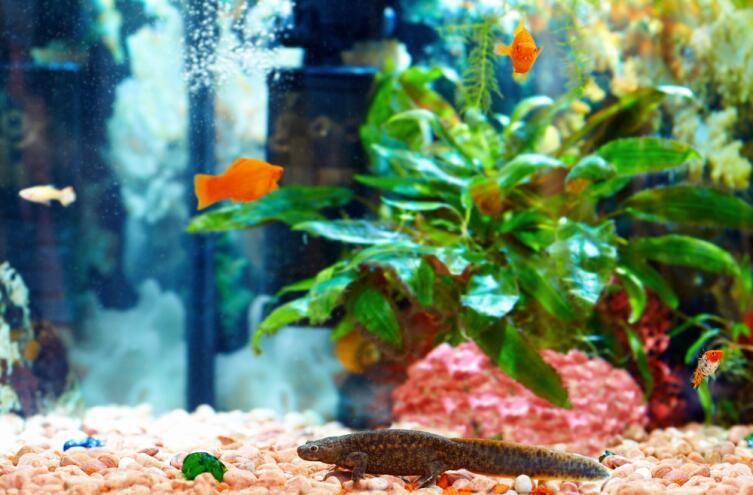 Испанский тритон в аквариуме