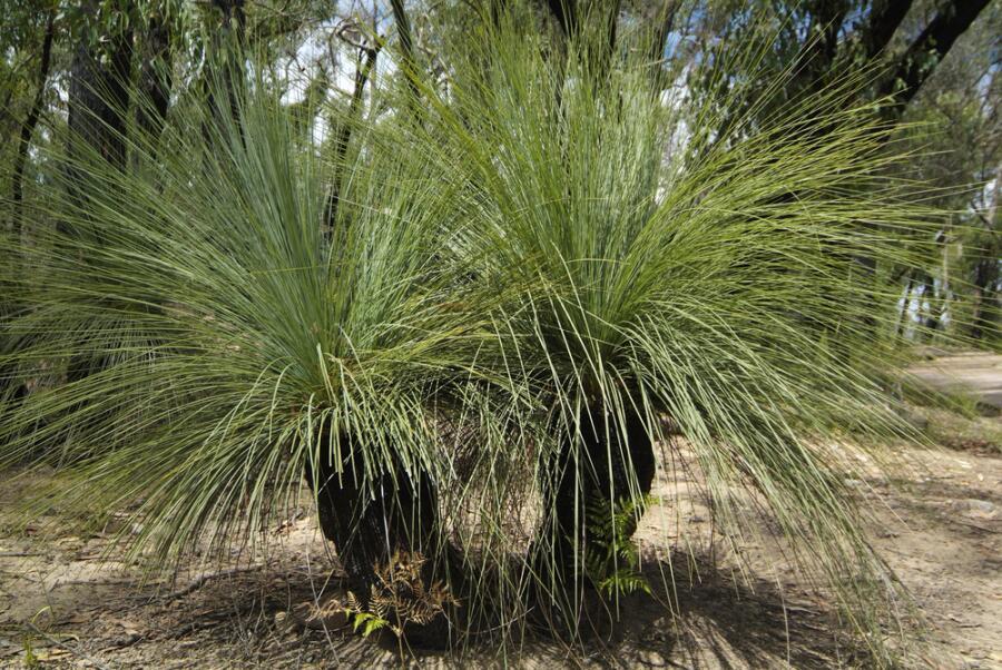 Ксанторрея. Как вырастить травяное дерево в доме?