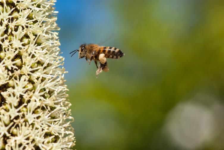 Пчела летит на цветки ксанторреи