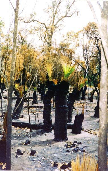 Ксанторрея после пожара