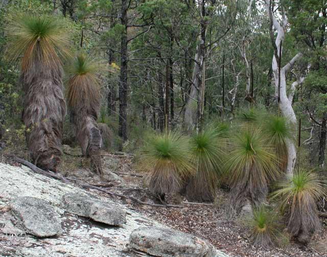 Ксанторрея в Австралии