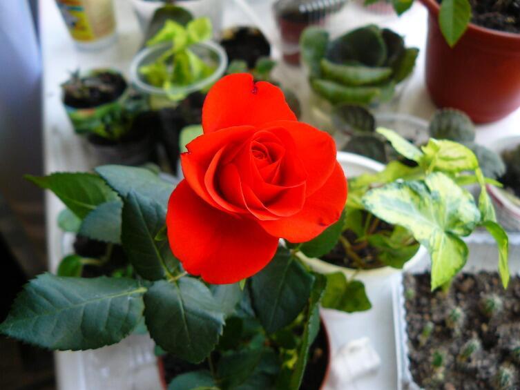 Как размножать миниатюрные розы?