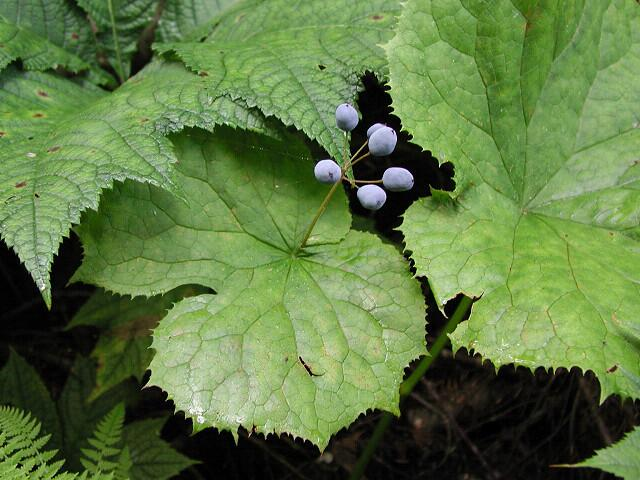 Листья и ягоды двулистника Грея