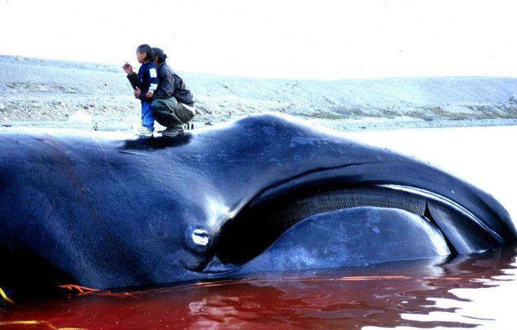 Гренландский кит, пойманный эскимосами на традиционной охоте в Иглулике (Нунавут) в 2002 году