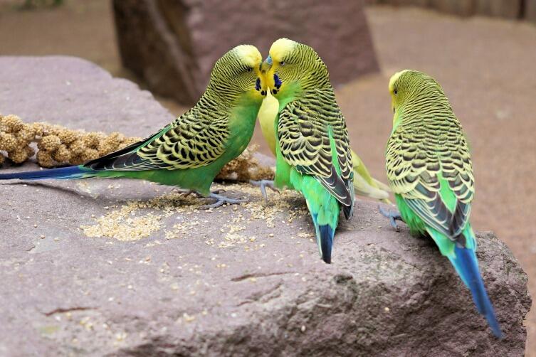 Волнистые попугаи прекрасно ладят между собой