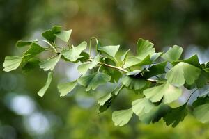 Гинкго - дерево жизни и надежды. Как его вырастить?