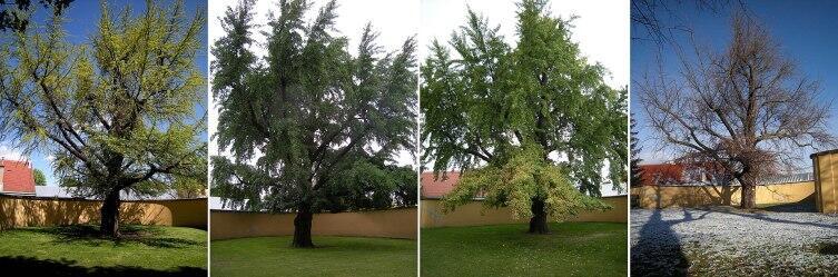 Дерево гинкго в апреле, июне, октябре и ноябре. Шёнбрунн, Вена, Австрия