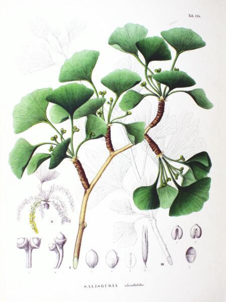 Ботаническая иллюстрация из книги Зибольда и Цуккарини Flora Japonica, Sectio Prima, 1870 г.