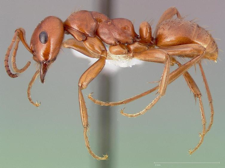 Павел Иустинович Мариковский описал новый для науки вид муравьёв-амазонок Polyergus nigerrimus