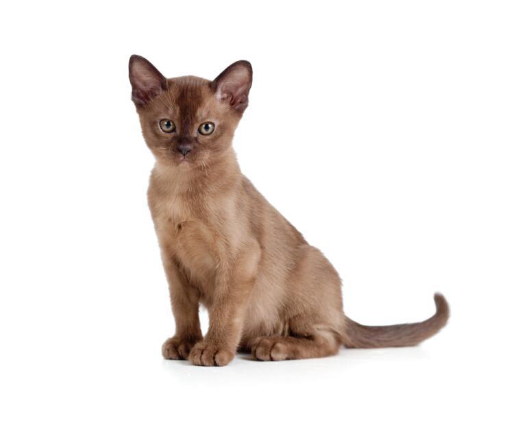 Современные американские бурмы. Есть ли у этих кошек проблемы со здоровьем?
