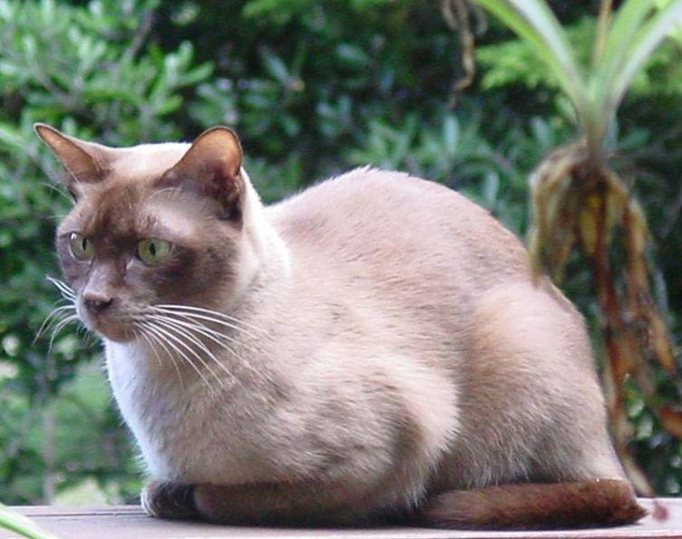 Шоколадная бурманская кошка
