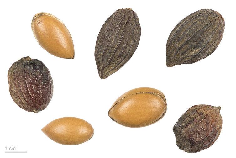 Плоды и семена аргании