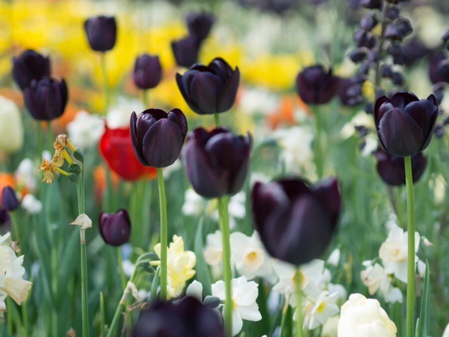 Черный тюльпан на самом деле темно-фиолетовый