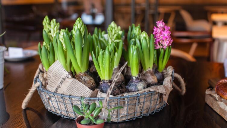 Гиацинты очень ароматные цветы