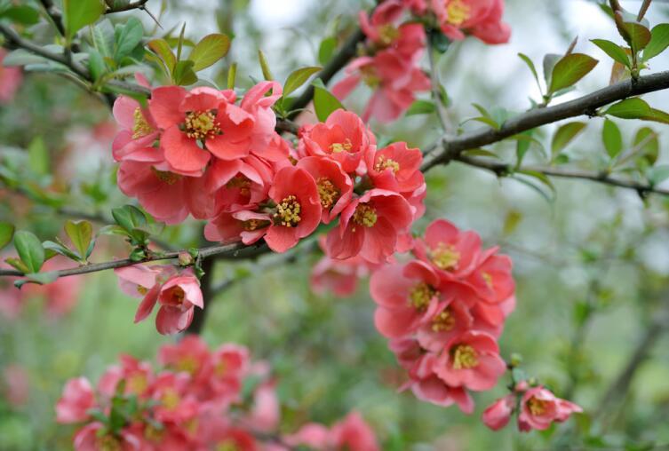Айва японская во время цветения