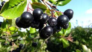 Гимн черноплодке. Что в Нечерноземье растет и плодоносит, совершенно не требуя ухода?