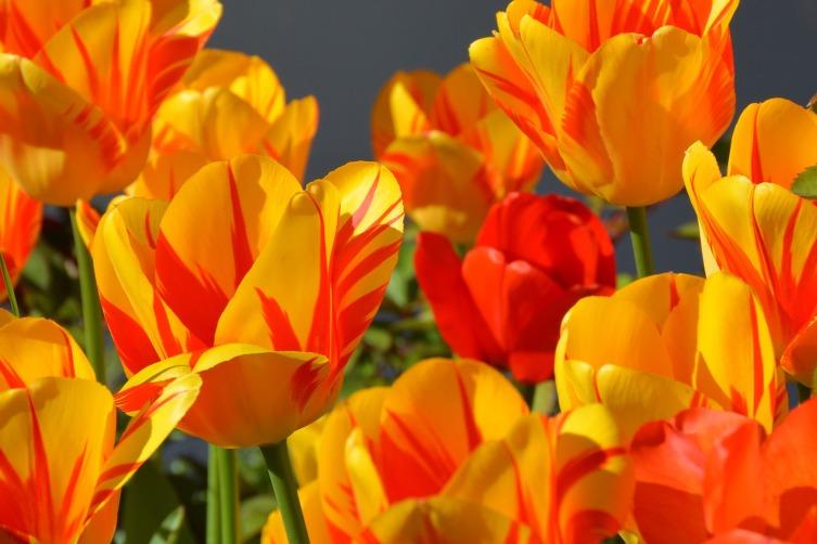 Как выращивать тюльпаны? Несколько секретов агротехники