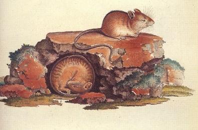 Рисунок лесной мышовки (Sicista betulina) из книги Палласа «Novae species quadrupedum» (лат.) (1778—1779), выполненный Ничманном (Nitschmann) и Нуссбигелем (I. Nussbiegel)