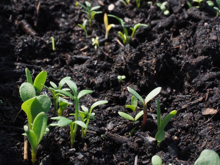 наменитый огородник Ефим Грачёв выносил на гряды и рассыпал неперемерзшую землю из подвала или бурта для того, чтобы запустить жизнь почвы