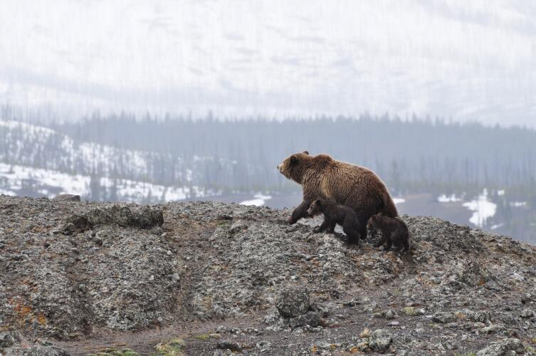 сть предположение, что медведи были обычным домашним животным, как у нас сейчас собаки, и немало помогали по хозяйству