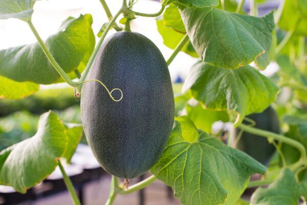 Бенинказа – тыква в восковой шубе. Чем она привлекает огородников?