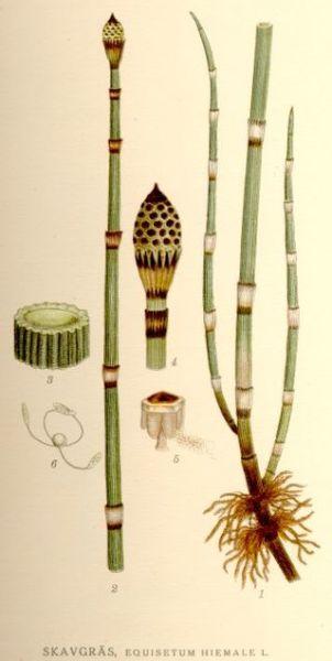 Ботаническая иллюстрация из книги К. А. М. Линдмана Bilder ur Nordens Flora, 1917—1926 гг.