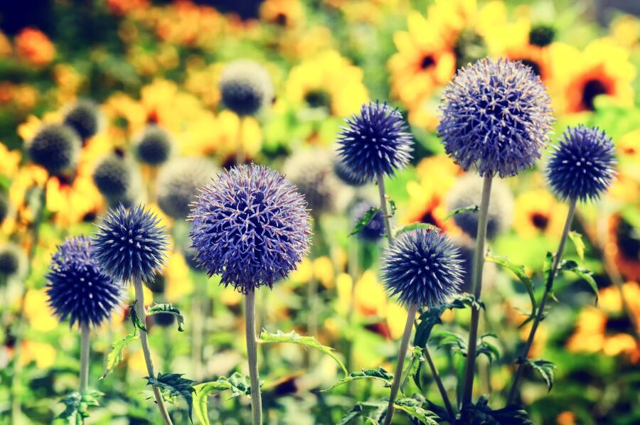 Как вырастить мордовник в своем саду?
