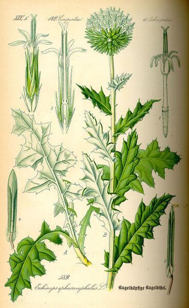 Мордовник шароголовный. Ботаническая иллюстрация из книги О. В. Томе Flora von Deutschland, Österreich und der Schweiz, 1885 г.