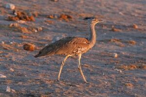 Княжеская птица – дрофа. Сможет ли человек спасти её от вымирания?