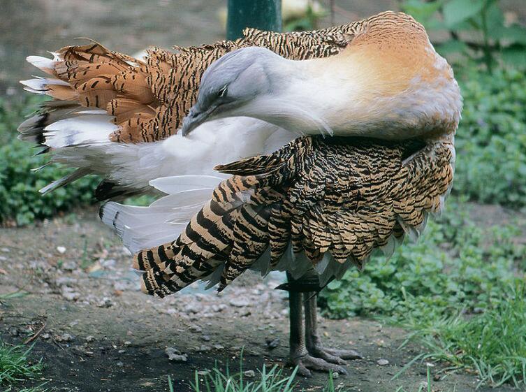 Дрофа в Киевском зоопарке
