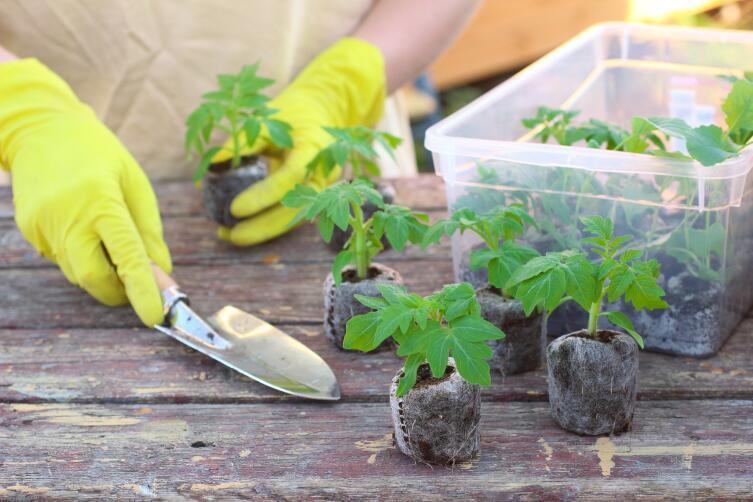 Как привить перец на томат или вырастить томат на двух корнях?