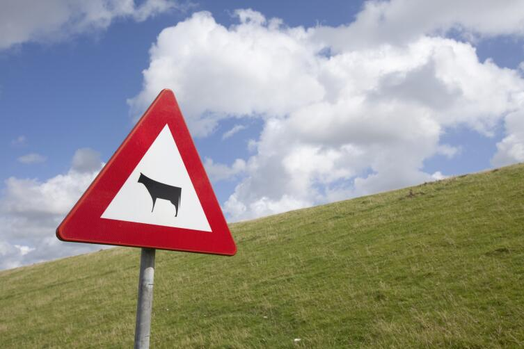 Что делать, если на дороге сбили корову?