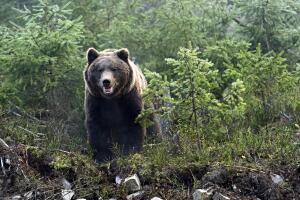 Как в дебрях кировских лесов когда-то охотились на медведя-овсянника?