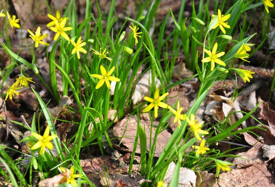 Какие цветы можно встретить в весеннем  лесу?